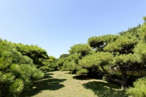 Japanese Culture: Pine Trees