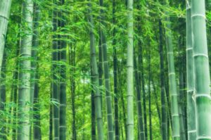 Japanese Culture: Bamboo Forest