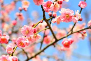 Japanese Culture: Plum Tree